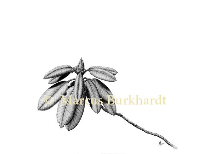 rhododendron_marcus_burkhardt